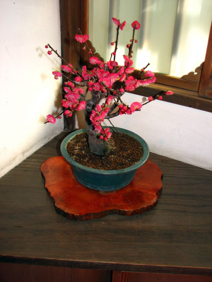 bonzai-plants-bonsai-trees-collection-for-interiors