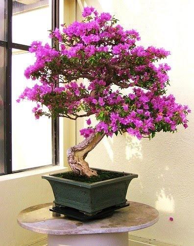 Scarlet Begonia Bonzai Plant