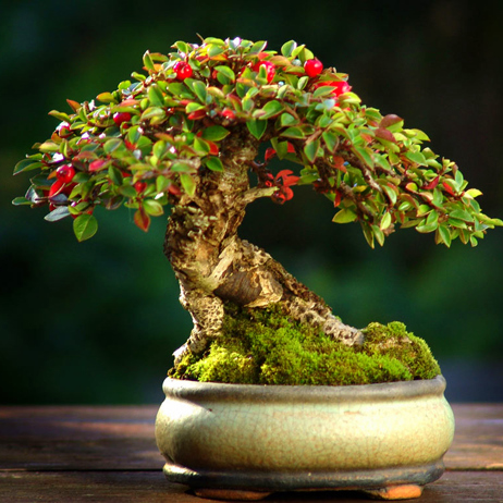 COTONEASTER bonsai plants