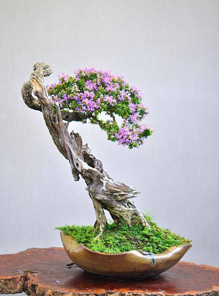 bougenville-bonsai-plants-for-interiors