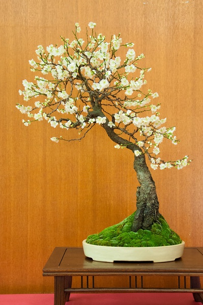 bonsai-plants-for-interiors