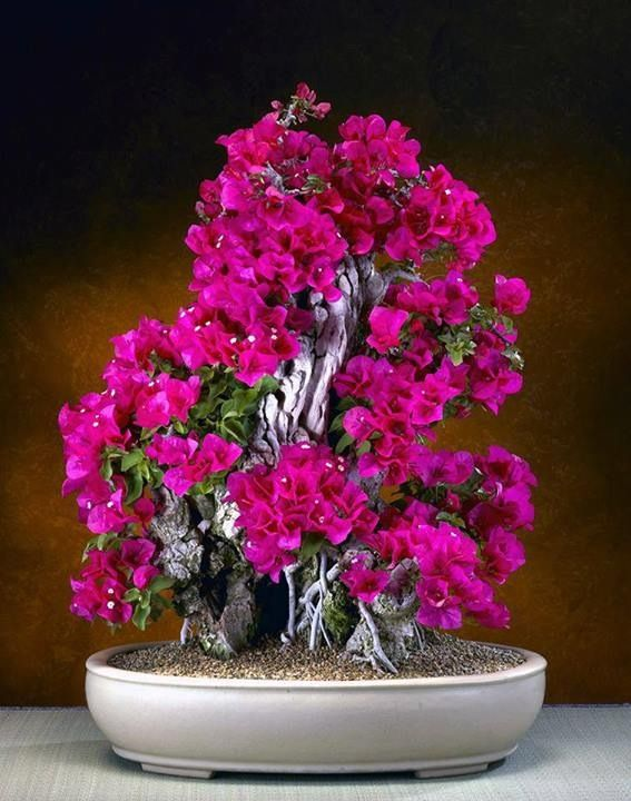 bougenvilla-bonsai-plant